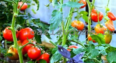 Фото томатов сорта Санька