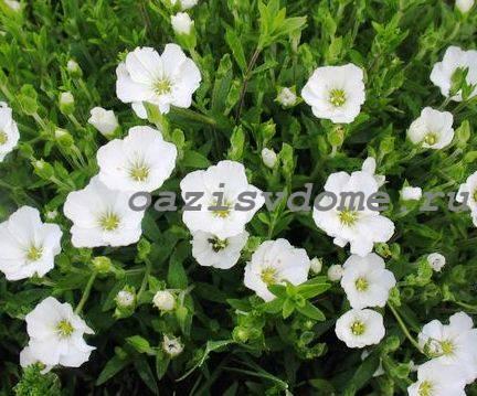 Низкорослый цветок Аренария