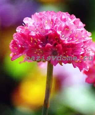 Низкорослый цветок Армерия