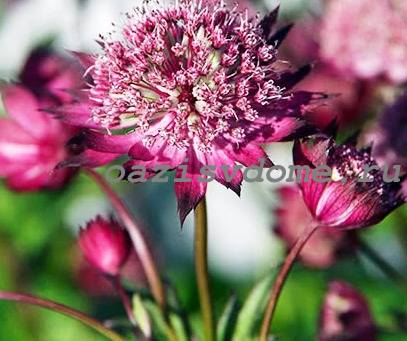 Низкорослый цветок Астранция
