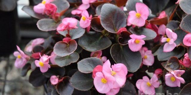 Посев бегонии вечноцветущей, выращивание из семян, посадка и уход в саду