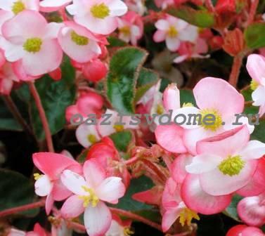 Розовая вечноцветущая бегония