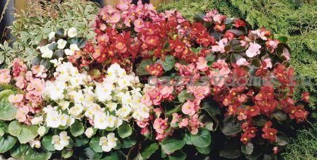 Бегония вечноцветущая в саду