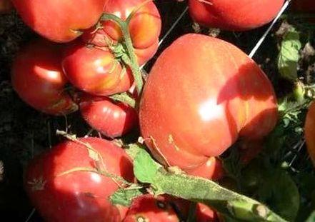 Высокорослый скороспелый сорт томатов Чудо земли