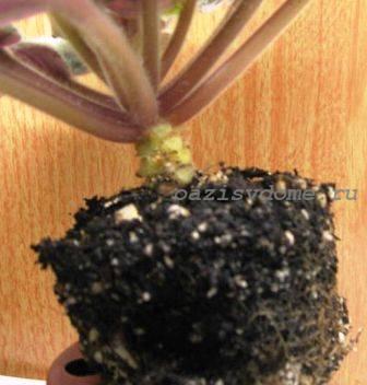 Пересадка фиалки с частичной заменой почвы