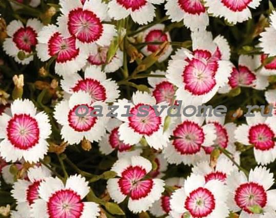 Цветы гвоздики-травянки