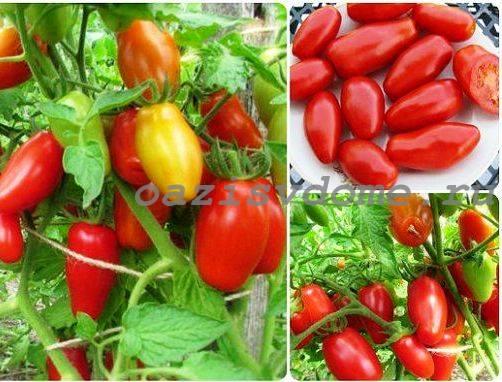 Фото томатов сорта Красный клык
