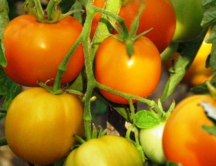 Скороспелые помидоры для теплиц сорта Мандаринка