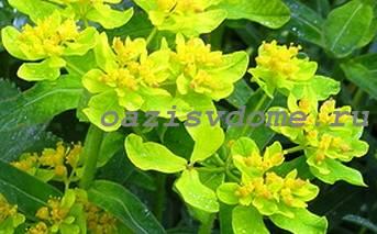 Низкорослый цветок Манжетка
