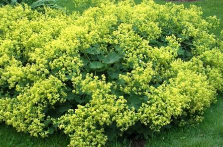 Фото многолетнего растения Манжетка