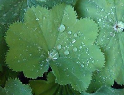 Листья цветка Манжетка
