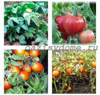 ТОП-8 лучших низкорослых сортов томатов для открытого грунта
