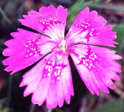 Низкорослый цветок гвоздика травянка