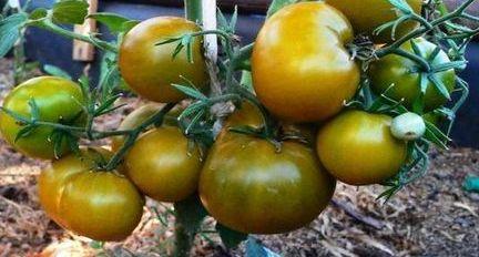 Ранние томаты сорта Болото