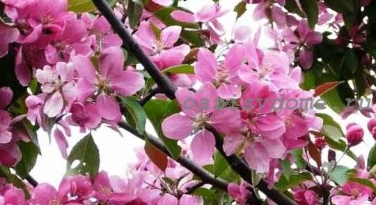 Чем и как подкормить молодые и старые яблони весной