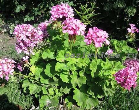 Куст пеларгонии в саду