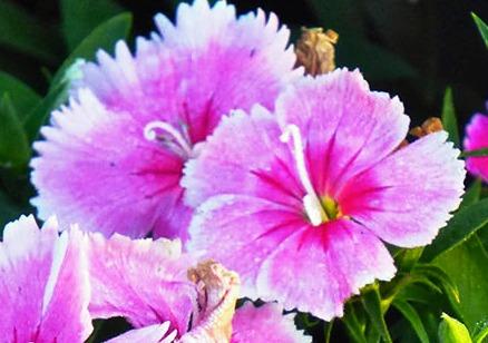 Цветы гвоздики Шабо