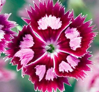 Цветок гвоздики Шабо