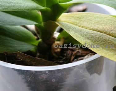 Естественная причина пожелтения листьев орхидеи