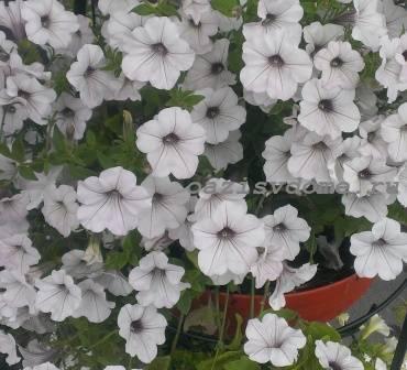 Петуния в цвету летом