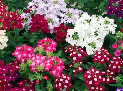 Цветение вербены в саду