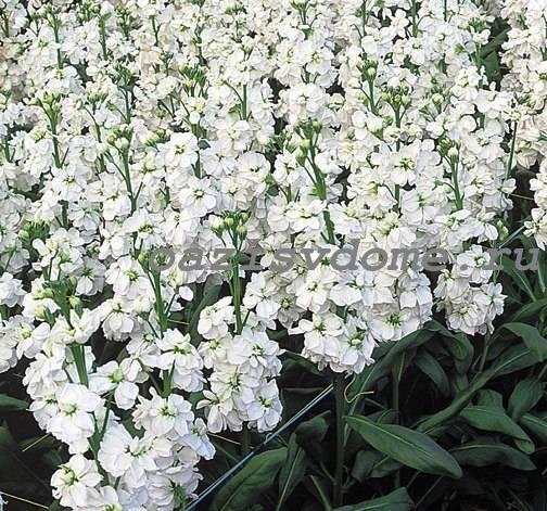 Цветение белой маттиолы