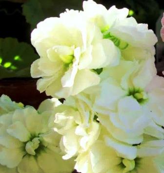 Фото цветов левкоя