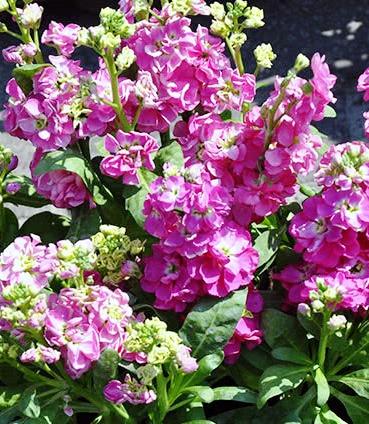 Цветение левкоя в саду