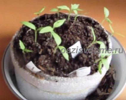 Баклажаны: посев в Улитку на туалетную бумагу пошагово с фото