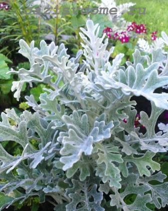 Серебристая цинерария в саду