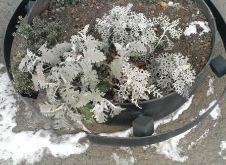 Цинерария в Сибири в ноябре на клумбе
