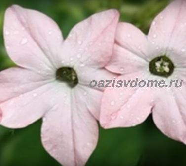 Фото цветов душистого табака