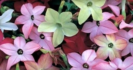 Разноцветные цветы душистого табака