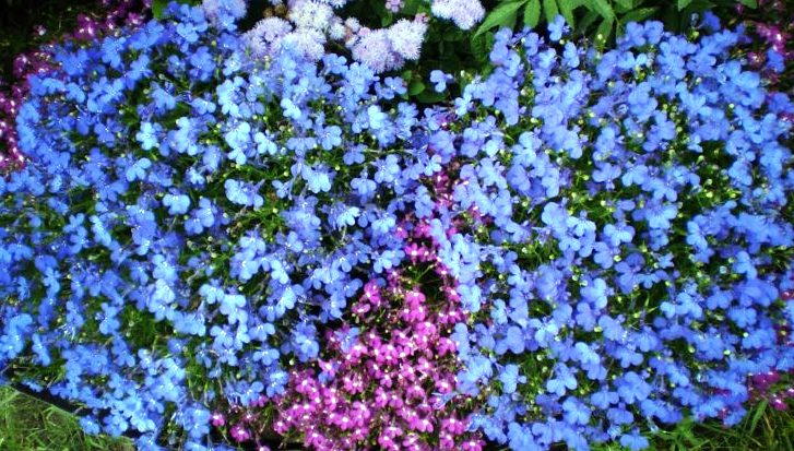 Лобелия Голубой фонтан