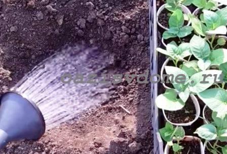 Пересадка рассады картофеля в грунт