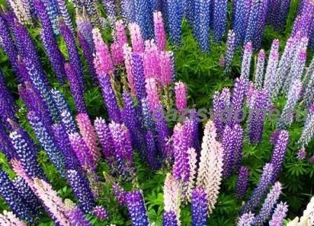 Люпины: как посадить и вырастить из семян красивые цветы