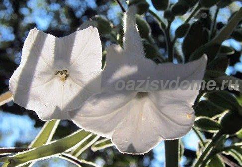 Белые цветы душистого табака