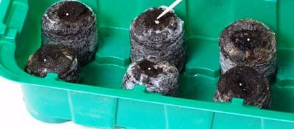Посев семян петунии в торфяные таблетки