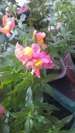 Разноцветные цветы Львиного зева