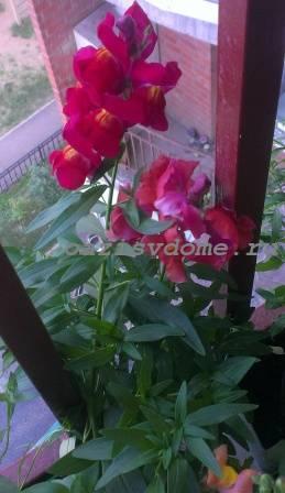 Львиный зев на балконе