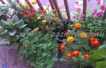 Цветение бархатцев на балконе