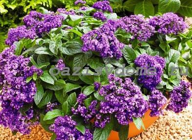 Цветение гелиотропа в саду