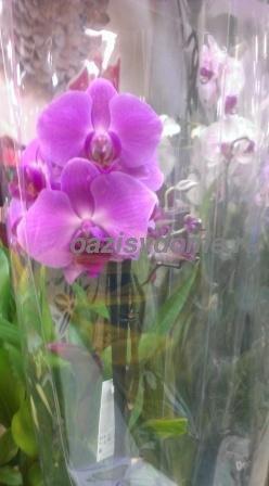 Орхидея после покупки в магазине: как ухаживать за фаленопсисом в горшке