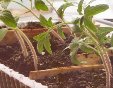 Подсыпаем почву к вытянувшейся рассаде томатов