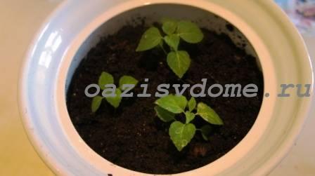 Пересаженная в горшок рассада сальвии для выращивания на балконе