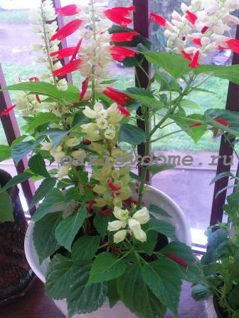 Цветение сальвии на балконе