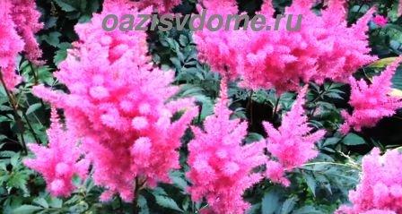 Цветок астильба: посадка, выращивание и уход в открытом грунте, фото