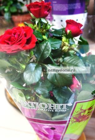 Как ухаживать за комнатной розой в домашних условиях