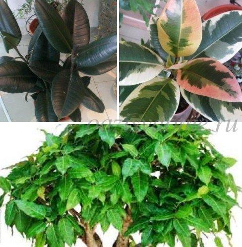 Выращивание фикусов, почему опадают листья