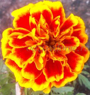 Цветок садового бархатца